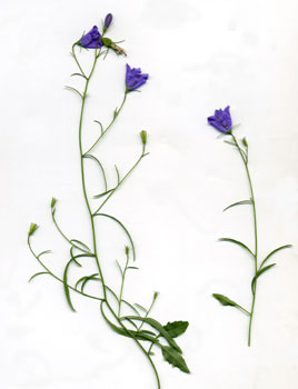 Herbier num rique de thiron gardais - Campanule a feuilles rondes ...